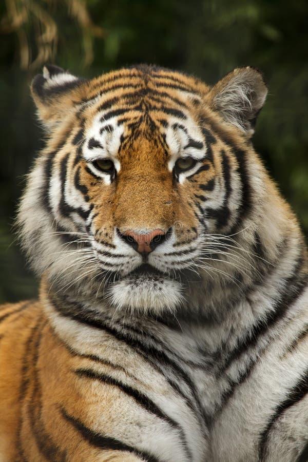 Pantheratigris för Siberian tiger altaica royaltyfri bild