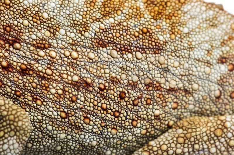 Pantherchamäleon, Furcifer-pardalis vor Weiß stockfoto