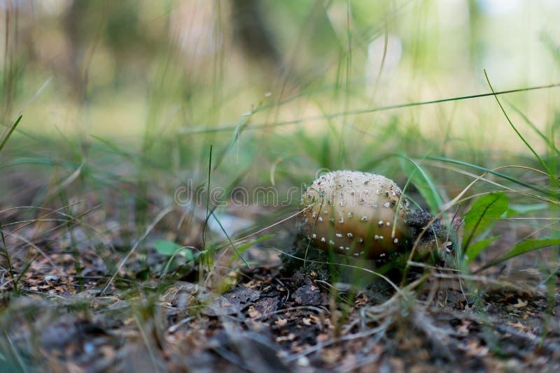 Pantherina do amanita do cogumelo imagem de stock royalty free