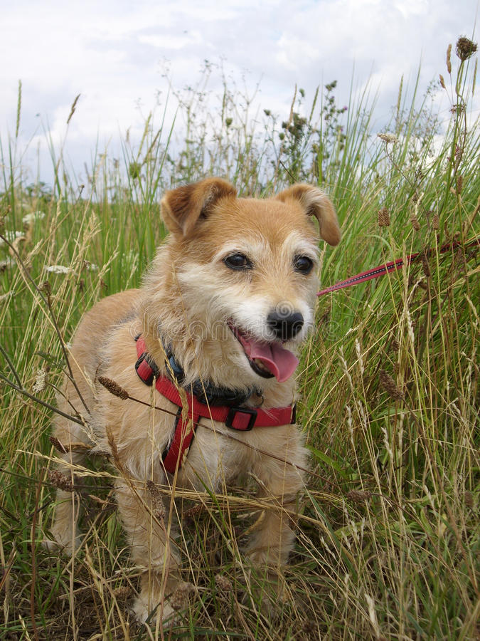 Cute dog in long grass. Panting cute Jack Russell / Yorkshire terrier mongrel cross dog with red harness and lead in long grass stock image