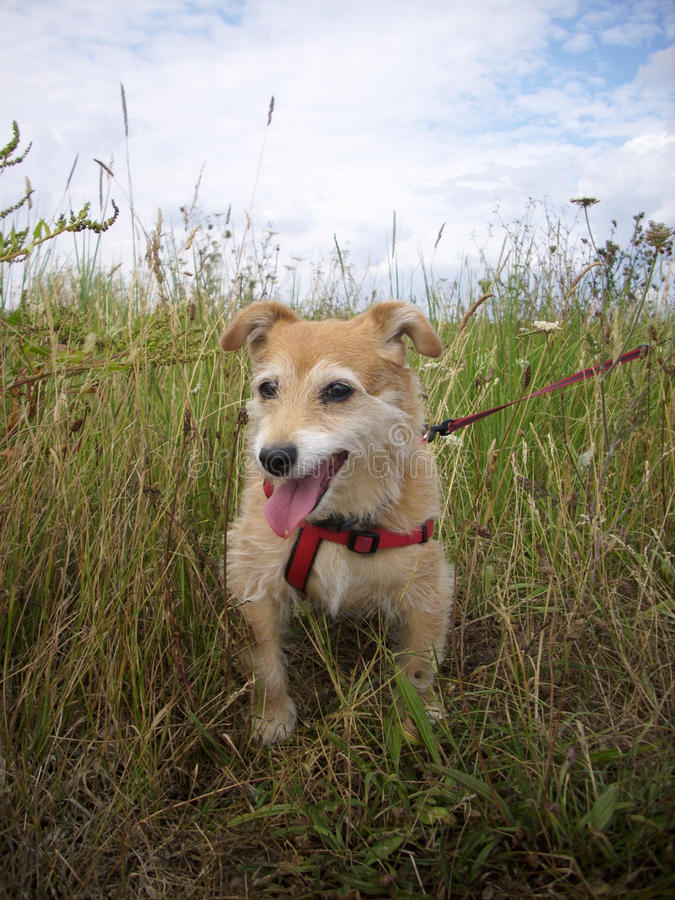 Cute dog in long grass. Panting cute Jack Russell / Yorkshire terrier cross dog with red harness and lead in long grass royalty free stock image