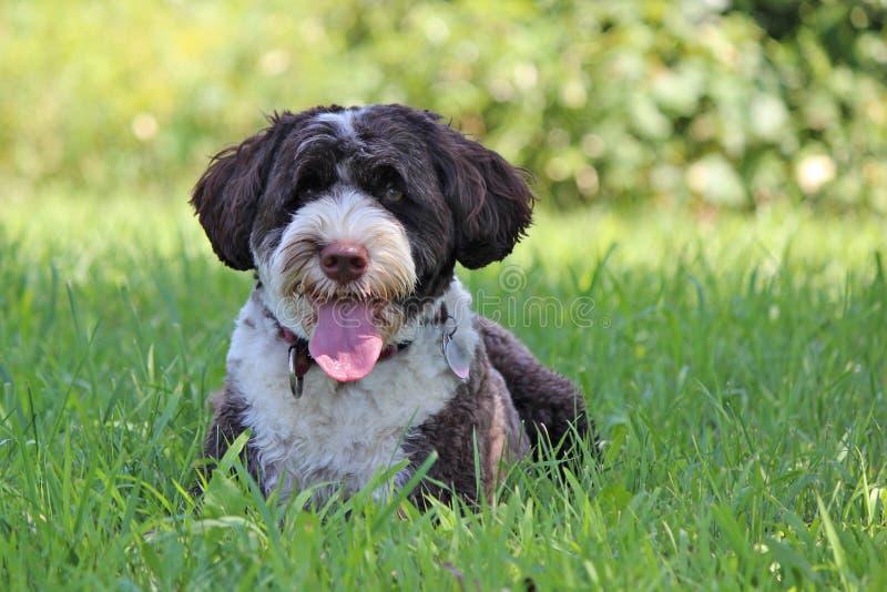 Panting Dog royalty free stock photo