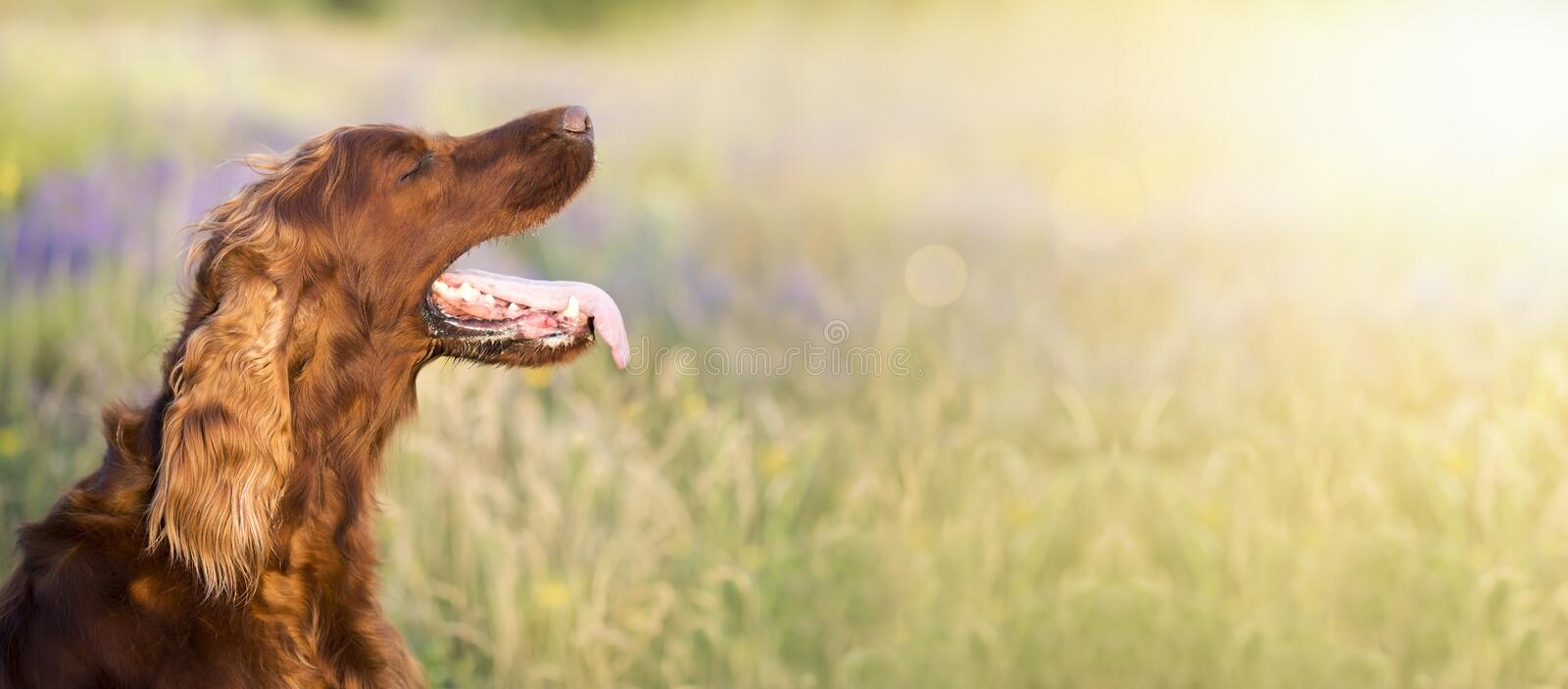 Dog in summer. Panting Irish Setter dog in a hot Summer stock images