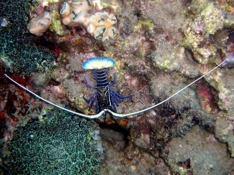 Panulirus ornatus tropicale dell'aragosta immagine stock