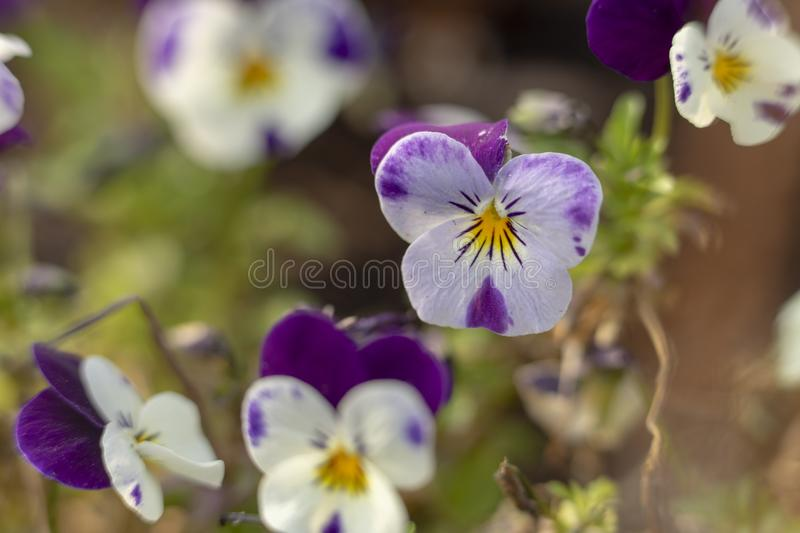 A Panys in the garden stock images