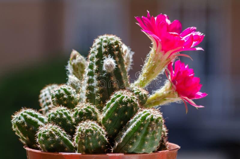 Paolinae de Chamaelobivia en fleur photos libres de droits