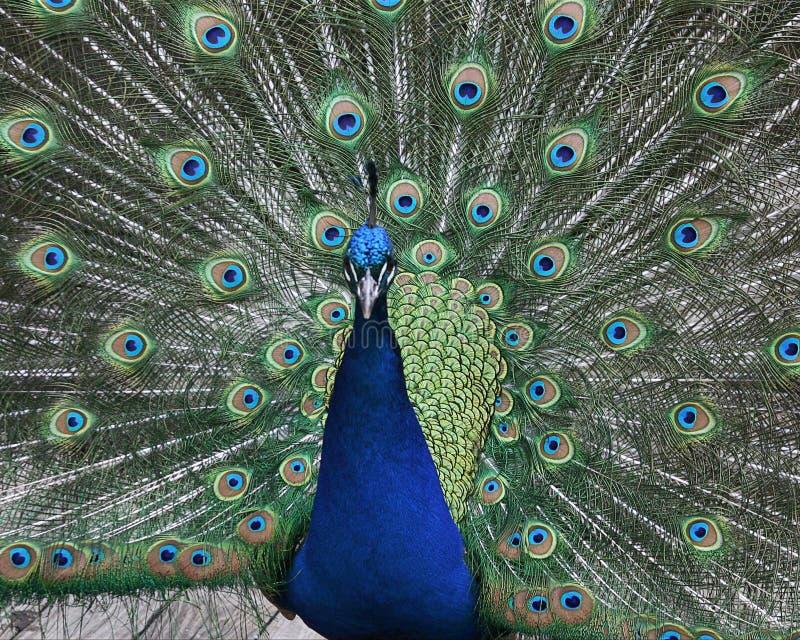 Download Paon image stock. Image du magnifique, paon, animal, avant - 739021