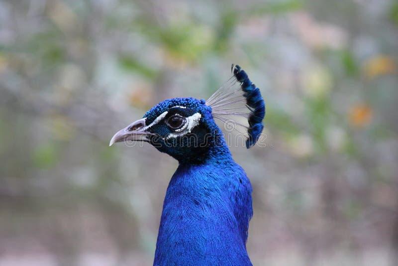 Paon bleu photos stock