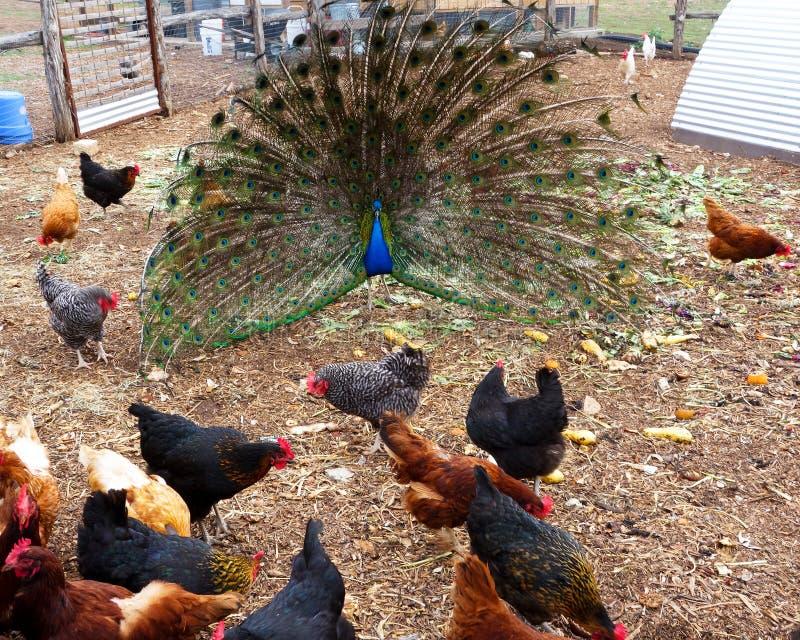 Paon dans la course de poulet photo libre de droits