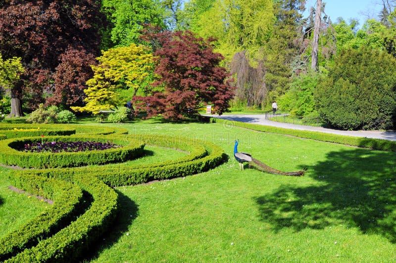 Paon dans le jardin image libre de droits