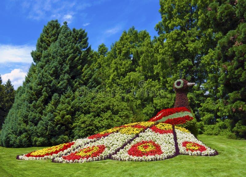 Paon de fleur dans un jardin photographie stock libre de droits