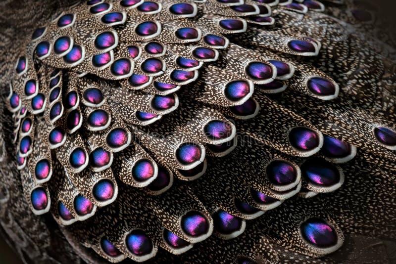 Paon-faisan, bicalcaratum gris de Polyplectron, détail en gros plan des plumes roses de plumage, grises et bleues Animla d'Asie e image libre de droits