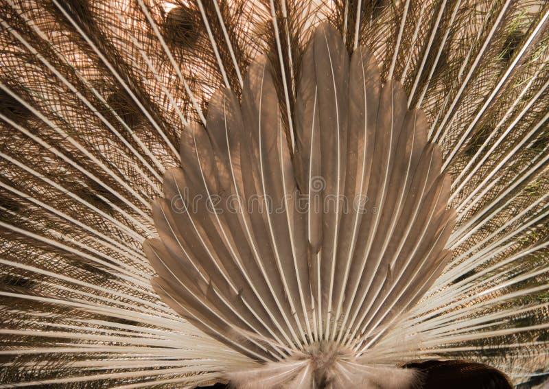 Paon Fermez-vous du paon montrant ses belles plumes photographie stock libre de droits