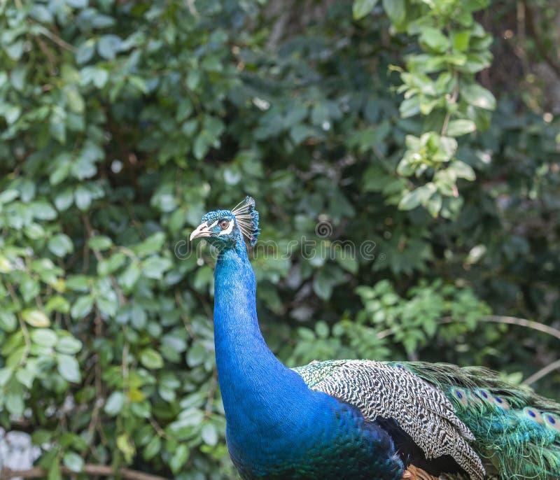 Paon indien ou paon bleu, cristatus de Pavo, regardant vers la gauche montrant les plumes bleues sur le cou photos stock