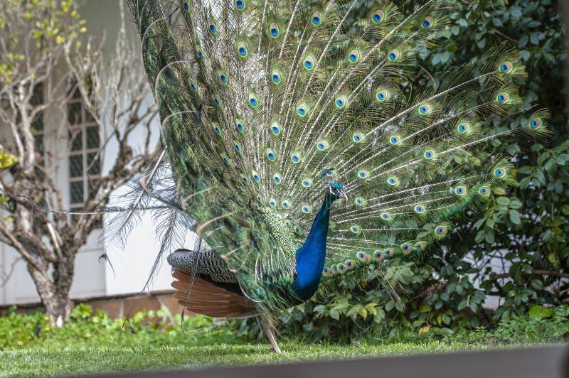 Paon indien ou cristatus bleu de paon, de Pavo, regardant pour redresser montrer les plumes droites et quelques plumes brunes sur photographie stock libre de droits