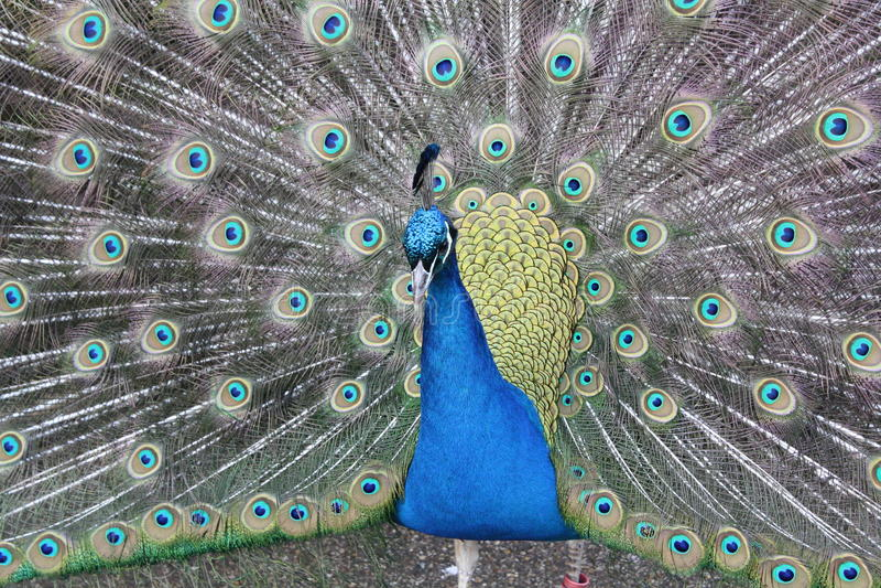 Paon magnifique avec des plumes de queue éventées  photographie stock