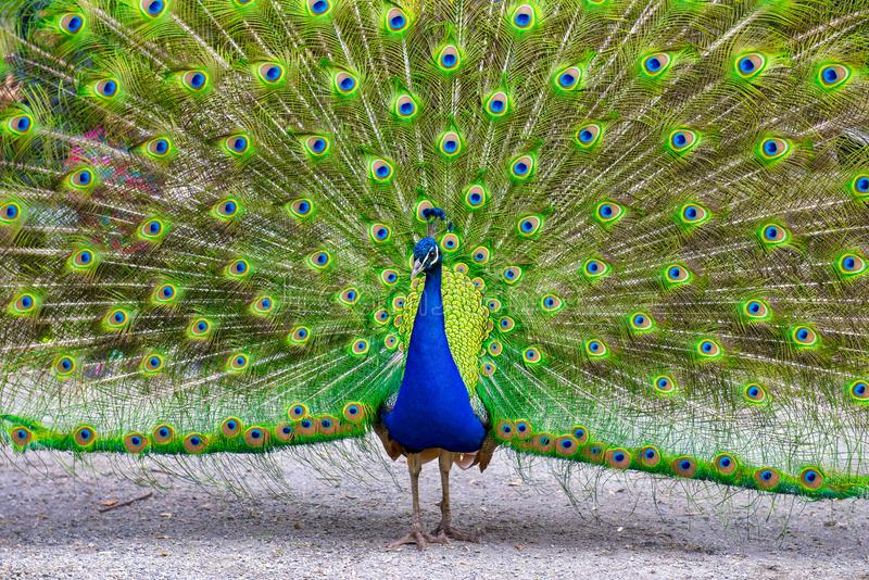 Paon masculin montrant son plumage magnifique photos libres de droits