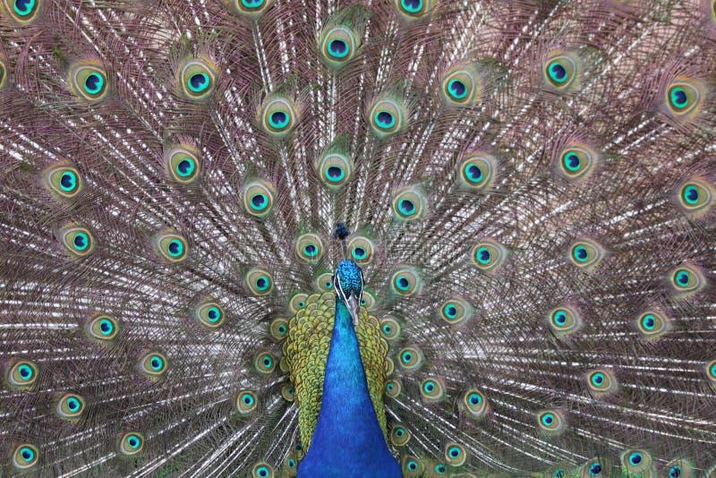 Paon montrant les plumes colorées photographie stock