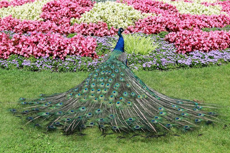 Paon sauvage dans le jardin photos libres de droits