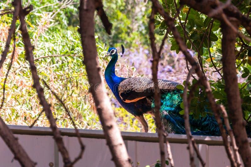 Paon se reposant et regardant à la caméra par les branches d'arbre sur le toit photographie stock