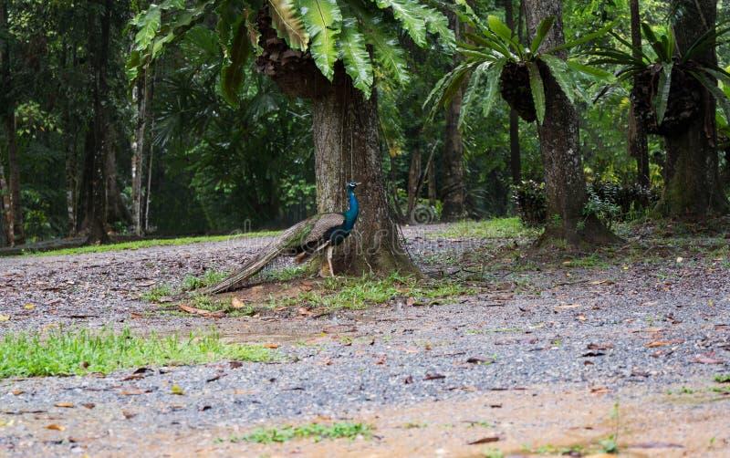 Paon sous les arbres en pleuvant le jour images libres de droits
