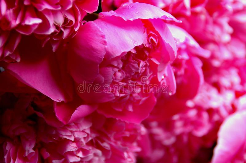 Paonia background. Old pink peonys from my backyard on a rainy day stock photos