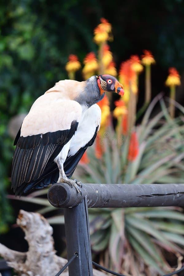 Papa de Sarcoramphus de vautour de roi image libre de droits
