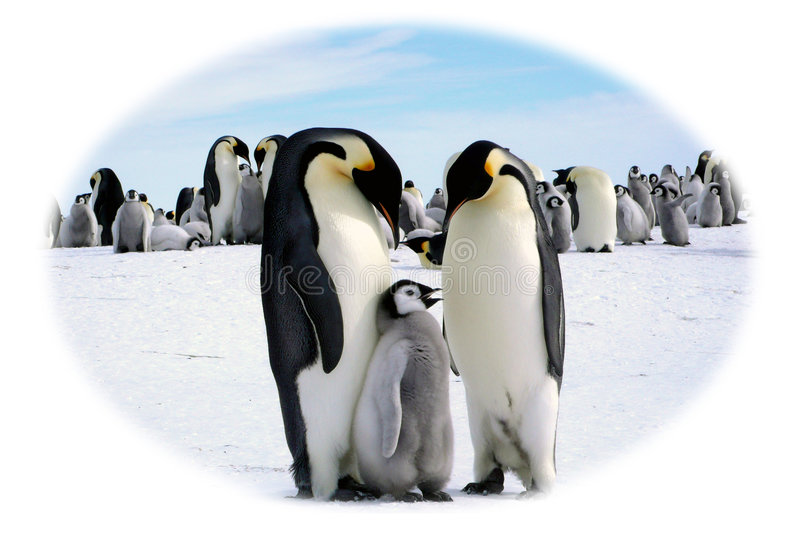 Download Papa, Mama and I stock image. Image of emperor, pack, chick - 3640923
