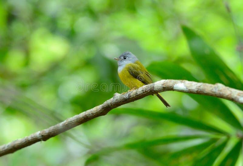 papa-moscas amarelo Cinzento-dirigido (ceylonensis de Culicicapa) foto de stock