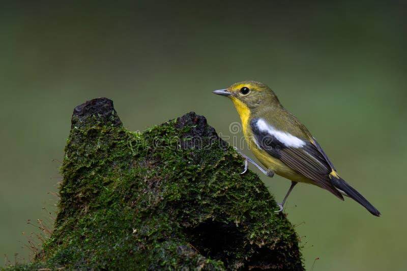papa-moscas Verde-suportado na floresta imagem de stock
