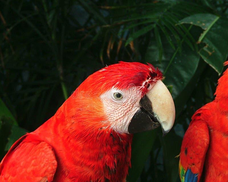 Download Papagaio imagem de stock. Imagem de pássaro, méxico, vermelho - 110873