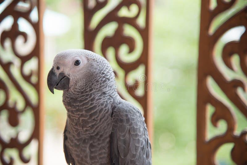 Papagaio africano cinzento imagem de stock royalty free