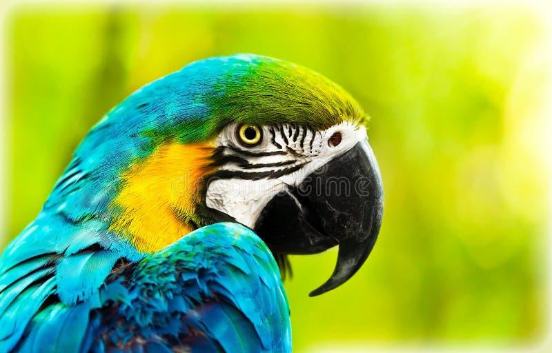 Papagaio africano colorido exótico da arara fotos de stock