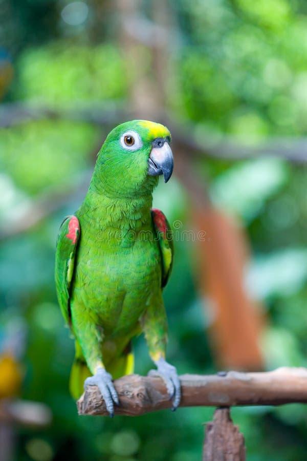papagaio Alaranjado-voado de Amazon fotos de stock