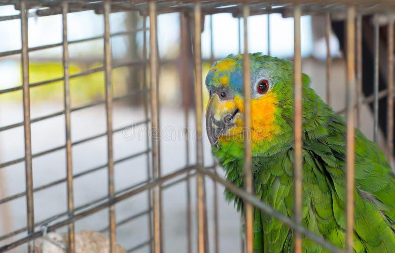 Papagaio na gaiola fotos de stock royalty free