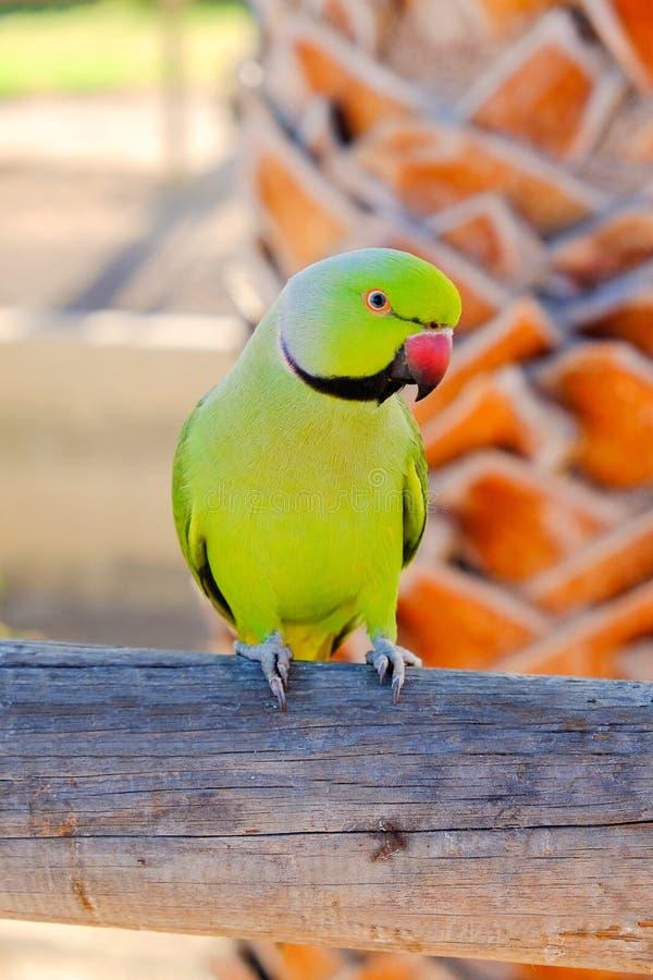 Papagaio anel-necked verde nas Ilhas Canárias de Fuerteventura, imagem de stock