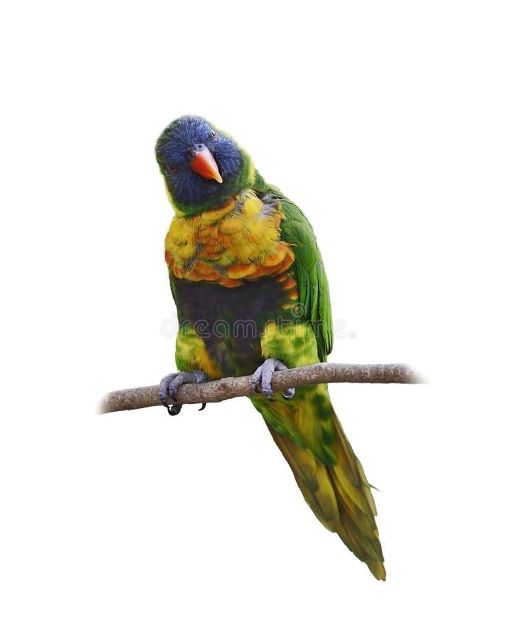 Papagaio (arco-íris Lorikeet) imagens de stock royalty free