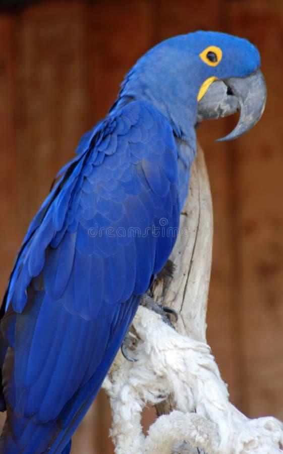 Papagaio azul fotografia de stock
