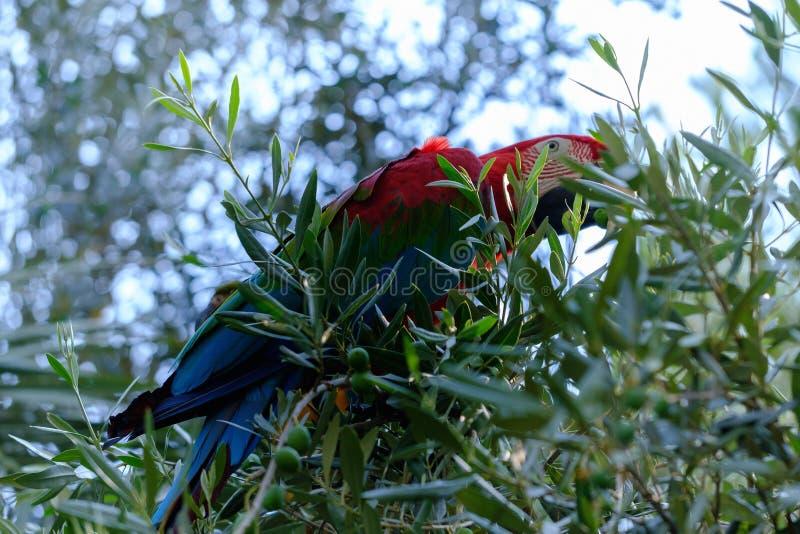 Papagaio azul e vermelho da arara em um ramo da oliveira foto de stock