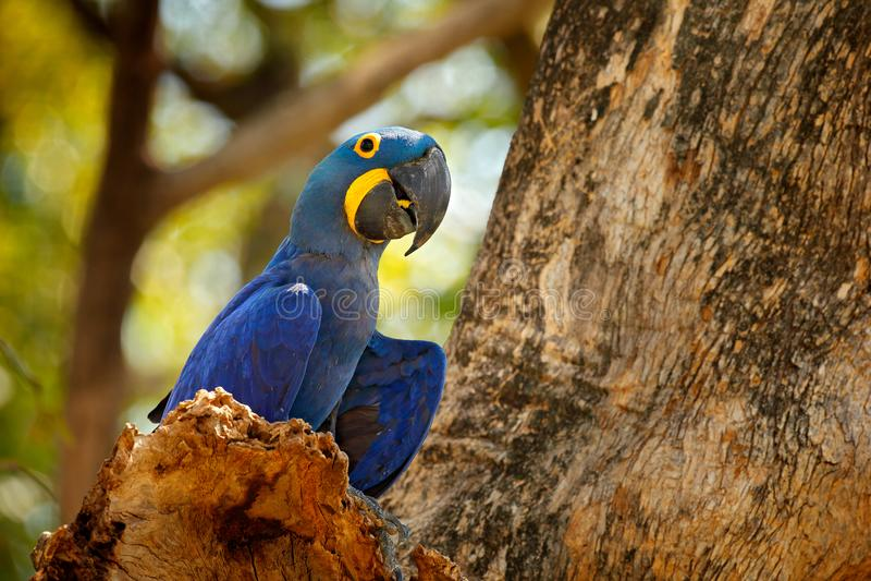 Papagaio azul grande do retrato, Pantanal, Brasil, Ámérica do Sul Pássaro raro bonito no habitat da natureza Animais selvagens Bo foto de stock