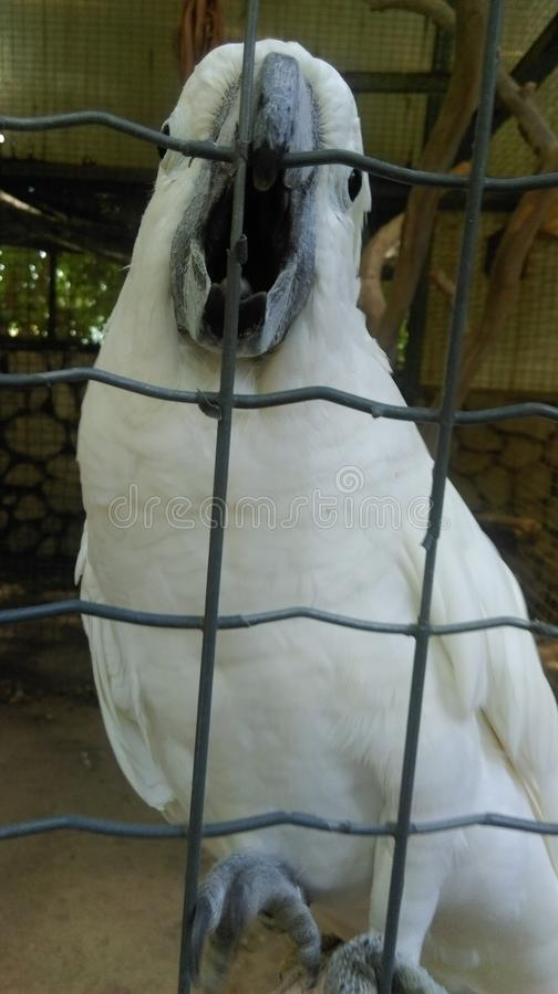 Papagaio branco surpreendente imagens de stock
