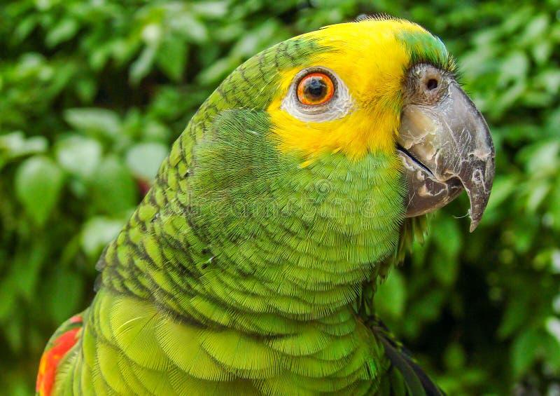 Papagaio brasileiro verde imagens de stock