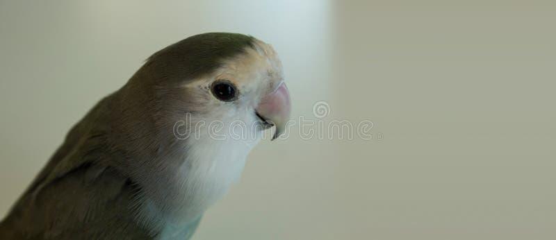 Papagaio cinzento fotografia de stock royalty free