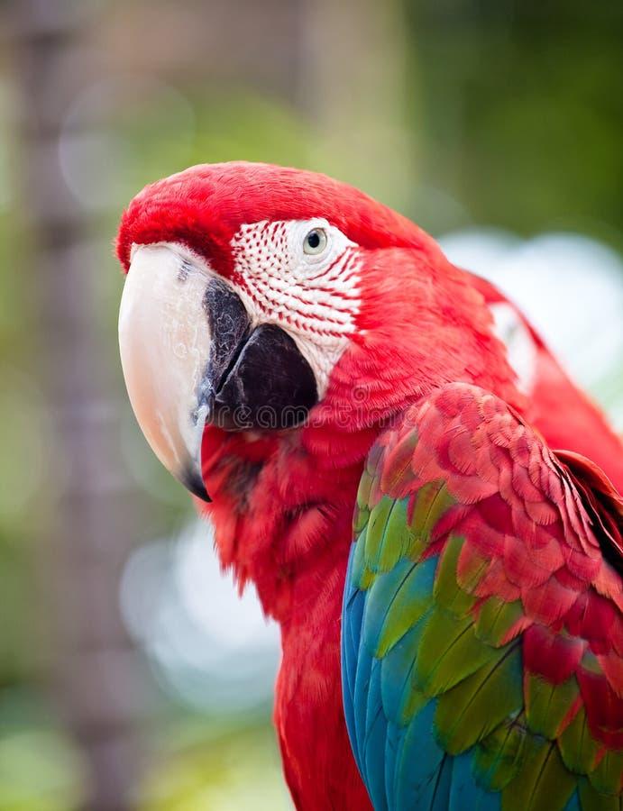 Papagaio colorido bonito fotografia de stock