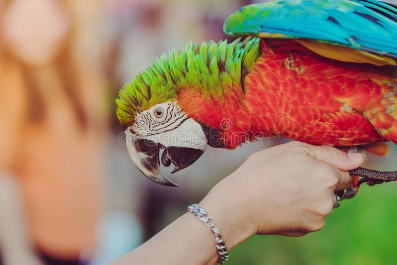 Papagaio colorido da arara que empoleira-se na mão e para esperar para voar para o exercício imagem de stock royalty free