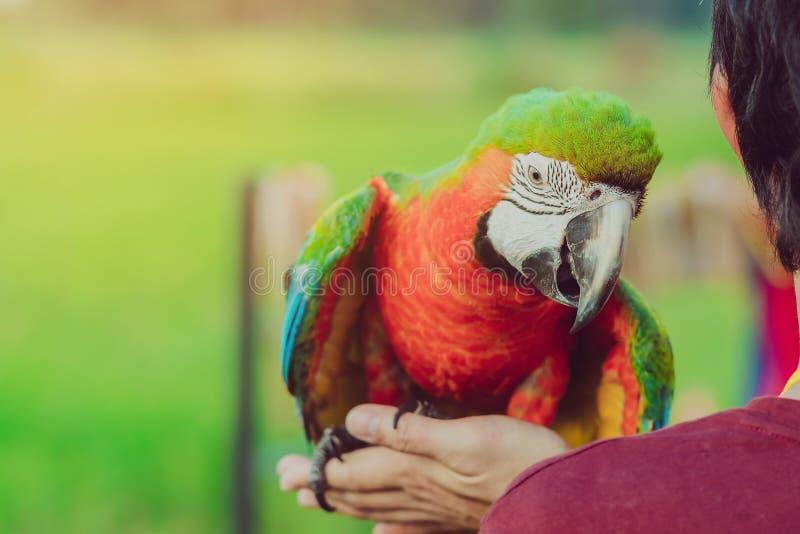 Papagaio colorido da arara que empoleira-se na mão e para esperar para voar para o exercício fotografia de stock royalty free