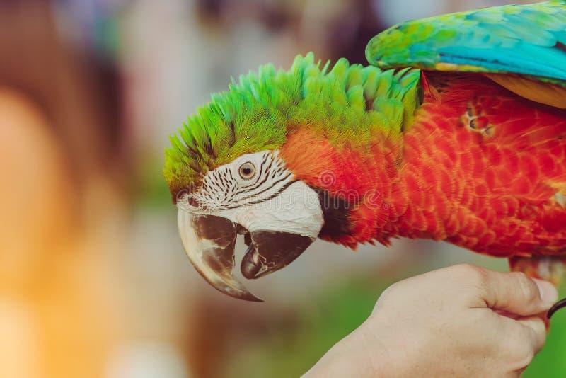 Papagaio colorido da arara que empoleira-se na mão e para esperar para voar para o exercício fotografia de stock
