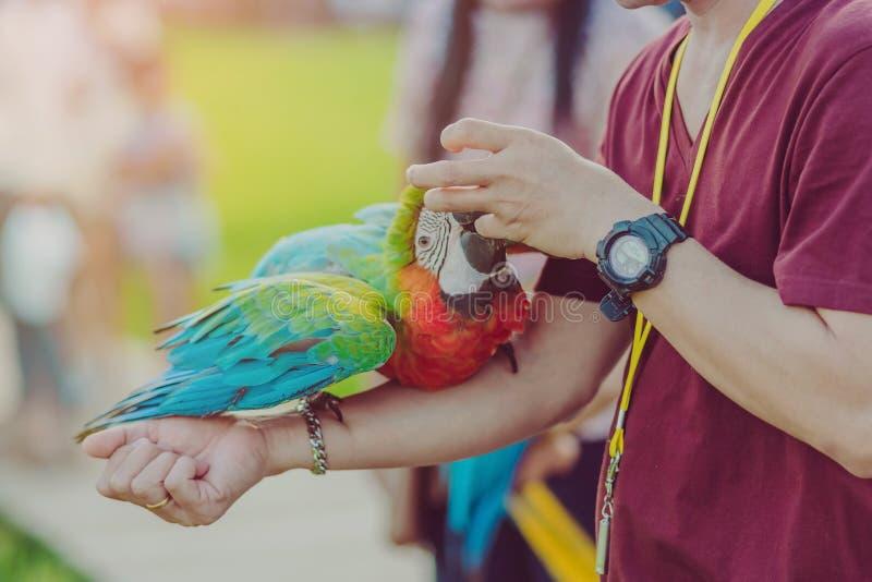 Papagaio colorido da arara que empoleira-se na mão e para esperar para voar para o exercício no campo fotografia de stock