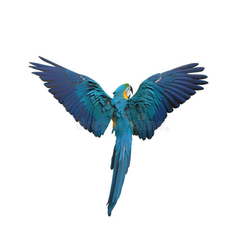 Papagaio colorido de voo da plumagem isolado no branco fotografia de stock