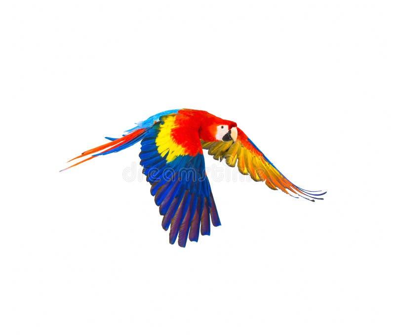 Papagaio colorido do voo foto de stock